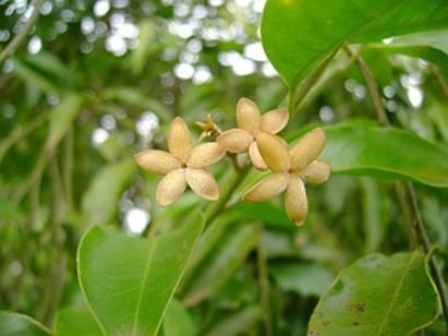 Pao Pereira, PB-100, Flavopereirine, Geissospermum vellosii